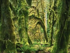 Moss Covered Big Leaf Maples, Hoh Rain Forest Wall Mural by Charles Gurche Tree Scene Wallpaper, Storybook Forest, Jungle Images, Forest Mural, Tree Wall Murals, Murals Your Way, Outdoor Wall Art, Big Leaves, Landscape Photographers