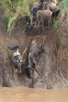 A Wildebeest Story Photo by Morkel Erasmus — National Geographic Your Shot