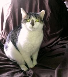 Sasha is an adoptable Domestic Medium Hair - gray and white searching for a forever family near Hasbrouck Heights, NJ. Use Petfinder to find adoptable pets in your area.