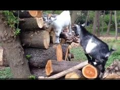 Goats Playing Around - YouTube