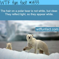 polar bears fur WTF FUN FACTS HOME / See MORE TAGGED/ animals FACTS (source)