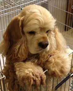 """Explore our internet site for additional details on """"cocker spaniel dog"""". It is actually an outstanding location to read more. American Cocker Spaniel, Cocker Spaniel Puppies, Cute Puppies, Cute Dogs, Dogs And Puppies, Doggies, Corgi Puppies, Spaniel Breeds, Dog Breeds"""