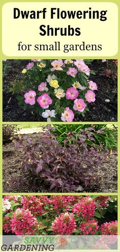 Flower Gardening Design Dwarf Flowering Shrubs for Small Gardens: 5 Favorites (AD) - ooking for low-maintenance, dwarf flowering shrubs for small gardens and other tight spaces? These beauties produce prolific blooms with little fuss. Dwarf Flowering Trees, Dwarf Shrubs, Dwarf Plants, Bushes And Shrubs, Small Shrubs, Small Trees, Dwarf Trees For Landscaping, Front Yard Landscaping, Landscaping Ideas