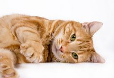Orange Tabby Cat - The males of this breed have earned the reputation of being the most well-natured of all domestic cats