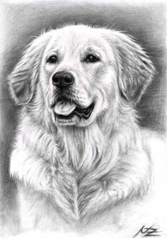 Dog drawing - golden retriever spence by nicole zeug. Pencil Art Drawings, Animal Drawings, Drawing Art, Chien Golden Retriever, Golden Retrievers, Watercolor Canvas, Retriever Puppy, Dog Paintings, Dog Portraits