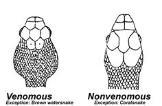 The best way to tell whether a snake you have encountered is venomous or not is by paying close attention the shape of the head and eyes. Diamond shaped head with pupils that are vertical slits indicate a venomous snake. Non-venomous snakes have rounded heads, round eyeballs, and round pupils.  If  bitten by a NON-venomous snake, the bite will look like a horseshoe of tiny scratches. As opposed to Venomous snake bite of only one or two puncture wounds.