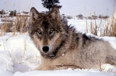 Endangered gray wolves flourishing in Rocky Mountain region, feds say