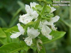 1500 LEMON BASIL Ocimum Basilicum HERB Flower Seeds >>> You can find more details by visiting the image link.