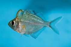Humphead glassfish, Parambassis pulcinella | Features | Practical Fishkeeping