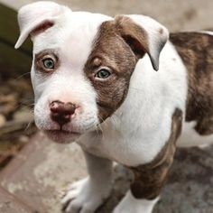 Mixed Breed Dog Pictures with Bios, 27 |Wolf Pitbull Mix
