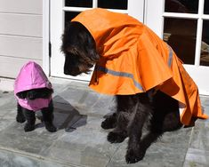 Big Dog and little dog toy poodle dressed in raincoats for rainy weather Tiny Puppies, Kittens And Puppies, Cats And Kittens, Little Dogs, Big Dogs, Teddy Bear Poodle, Poodle Dress, Haircut Tip, Poodle Haircut