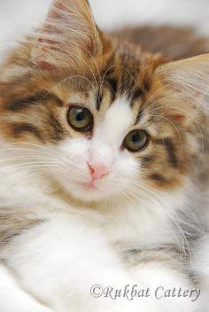 Norwegian forest cat kitty