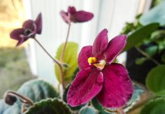 Mac's rapturous rhapsody Saintpaulia, Gardens, Indoor, Plants, African Violet, Violets, African, Interior, Outdoor Gardens