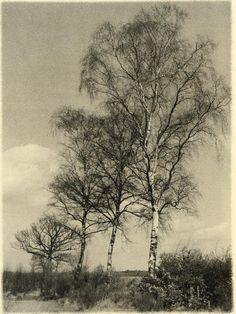 Victor Guidalevitch,Birches,  +/- 1940,Belgium