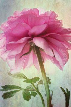 ranunculus rosa... fotografía de hermoso estilo por leapinggazelle