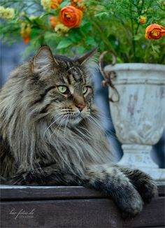 Interested In Owning A Maine Coon Cat And Want To Know More About Them Weve Made This Site To Tell You All You Need To Know About Maine Coon Cats As Pets