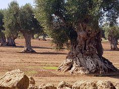 Ehrwürdige Olivenbäume  Fasano, Apulien Ferienhaus www.fiancoafianco.eu