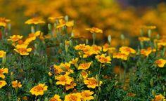 Gründüngung: Pflanzen-Kur für den Boden -  Mit einer Gründüngung kann man die Qualität seines Gartenbodens spürbar verbessern. Die Pflanzen lockern das Erdreich und reichern es mit Humus an. Einige Gründüngungspflanzen bilden sogar Nährstoffe und vertreiben Schädlinge.