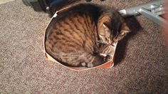 my cats fat an lazy an made his own bed in my shoe box - credit to: swipurr.com