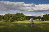 White Horse in Field with White Clouds Veggoverføringsbilde av Henri Silberman