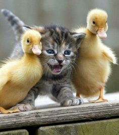"""Stop all the quacking! I can't take anymore!"""