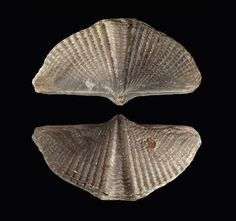 brachiopod fossil dating Brachiopods have an extensive fossil record, first appearing in rocks dating back to the early part of the cambrian period, about 525 million years ago they were extremely abundant during.