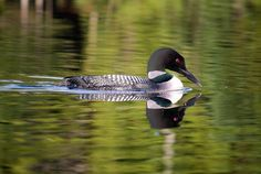 10 Black and White Facts About Common Loons | Mental Floss