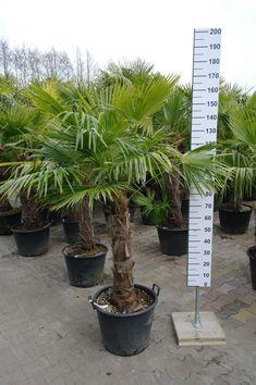 Vele soorten palmbomen bij goedkopeolijfbomen.nl Trachelospermum Jasminoides, Cupressus Sempervirens, Prunus, Florida, Facebook, The Florida, Peach