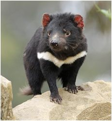 Rarely seen in the wild we went to a Tasmanian devil rescue center where they had a number in open pens where they could be cared for and kept from hopefully catching a facial cancer which is destroying the population. #Tasmania