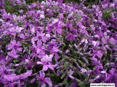 Phlox (S) 'Purple Beauty'