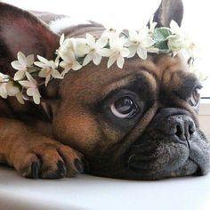 Fofura, French Bulldog Puppy ❤️