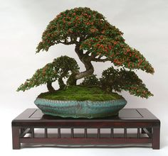 """Cotoneaster 'copse' made from seedlings almost 30 years ago; planted in a coiled Dansai pot about 12"""" in diameter. Now in the collection of Robin Jehan, Guernsey."""