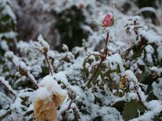 How to Prepare Your Roses for Winter