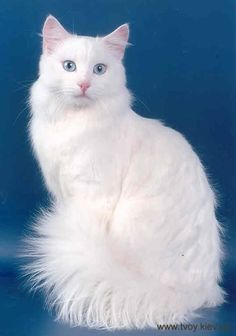"Turkish Angora Cat ""Her function is to sit and be admired. Cute Cats And Kittens, I Love Cats, Cool Cats, Crazy Cats, Kittens Cutest, Turkish Angora Cat, Angora Cats, Turkish Van Cats, Pretty Cats"