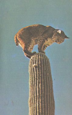 """- what in the world is this wild cat thinking? [The Bobcat: so-named for its short, or """"bobbed"""" tail. This cat is probably trying to get away from Peccaries or Javalinas -- dangerous wild pigs found in the U.S. Southwestern desert.]"""