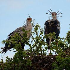"""TheaptlynamedSecretaryBirdisoneofmyfavouriteAfricanbirds.Theset"" by samanthavaneldik! Find more inspiring images at ViewBug - the world's most rewarding photo community. http://www.viewbug.com/photo/56562732"