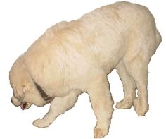 Great Pyrenees Feeding and Nutrition Information   Feeding and Care