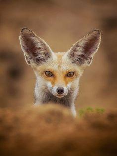 Arabian Red Fox by © yousif_theyab on Instagram