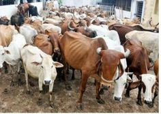 Court says possesing beef no crime, but upholds slaughter ban in Maharashtra #indianlogics #beef #slaughterban #mumbai #maharashtra #india  PROUD TO BE AN INDIAN Indian Law Maharashtra BJP Maharashtra