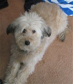 Whoodle ~ a cross between the Soft Coated Wheaten Terrier and the Poodle. @Kristi Harris Mirchandani