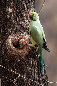 Cotorra de Kramer - Rose-ringed Parakeet - Halsbandsittich - Perruche à collier Kinds Of Birds, All Birds, Love Birds, Birds And Their Nests, Pretty Birds, Beautiful Birds, Animals Beautiful, Beautiful Family, Beautiful Places