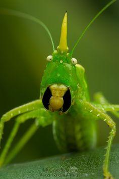 Horned Katydid .. THIS LOOKS OBNOXIOUS