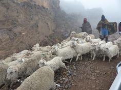 Thaba tseka Goats, Animals, Animales, Animaux, Animal, Animais, Goat