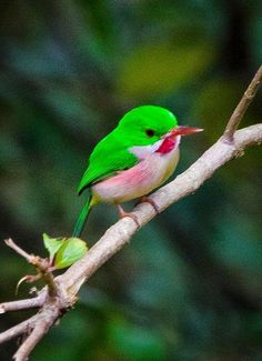 Tody The Broad-billed Tody (Todus subulatus) is one of the two species of tody native to the island of Hispaniola.The Broad-billed Tody (Todus subulatus) is one of the two species of tody native to the island of Hispaniola. Cute Birds, Pretty Birds, Beautiful Birds, Animals Beautiful, Exotic Birds, Colorful Birds, Green Birds, Exotic Pets, Animals And Pets