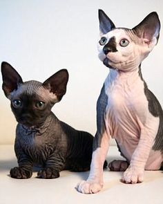 Breeders in Jacksonville, Florida, have created the SphynxieBob - which is a Sphynx and Bobtail cat mix - and the BamBob, which is a cross between a Bambino cat and Bobtail cat. Cool Cats, Cute Cats And Dogs, Cats And Kittens, Chat Sphynx, Hairless Cats, Chat British Shorthair, Bambino Cat, American Bobtail Cat, Cat Brain