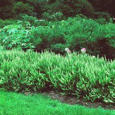 Clethra alnifolia 'Hummingbird' on Spring Meadow Nursery
