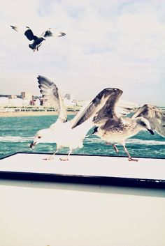 Seagulls.  © Laleh Creative All rights reserved.  http://lalehcreative.weebly.com/