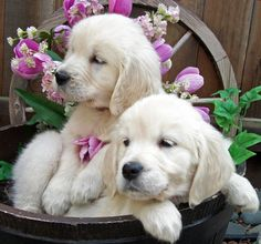 English Golden Retriever puppies