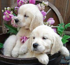 English Golden Retriever Puppies / Pet Photography / Puppy / Dog
