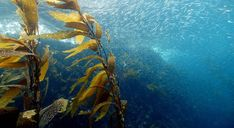 Seaweed is the Food –and Fuel– of a Sustainable World, And it May Start in Australia #goodnews #seaweed #savetheworld Fukushima, Starfish Species, Ocean Acidification, Ocean Depth, Kelp Forest, Sea Plants, Forest Pictures, Sea Otter, Fauna